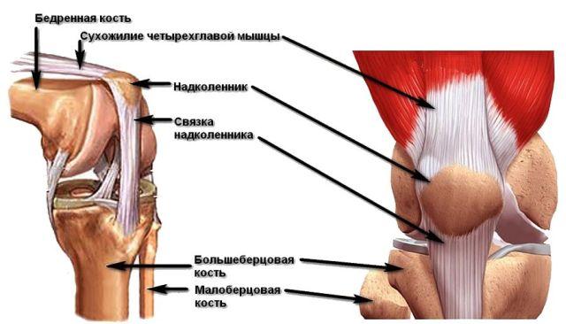 анатомия надколенника