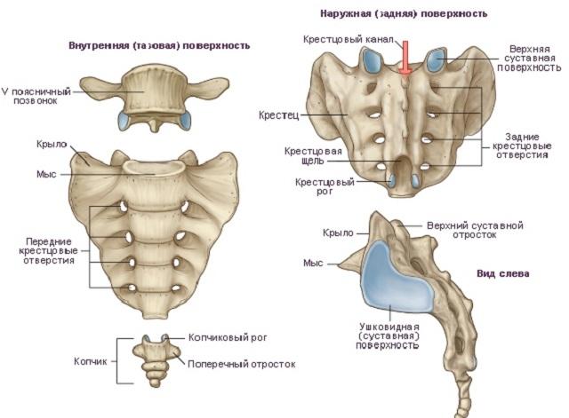 Анатомия копчика