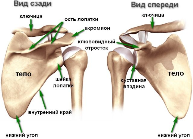 Анатомия лопатки