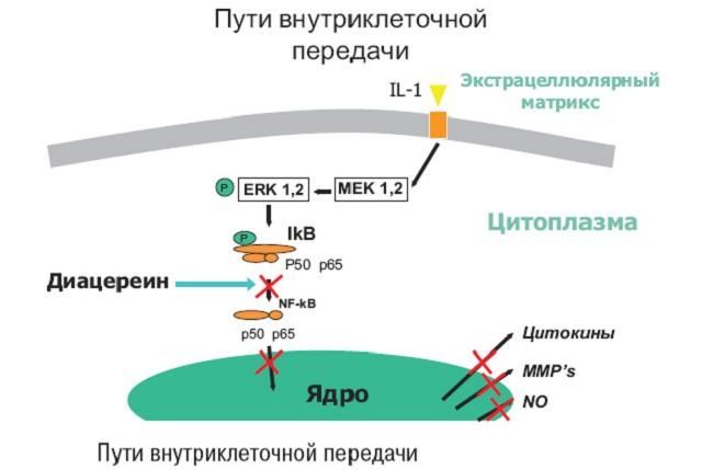 Механизм воздействия диацереина