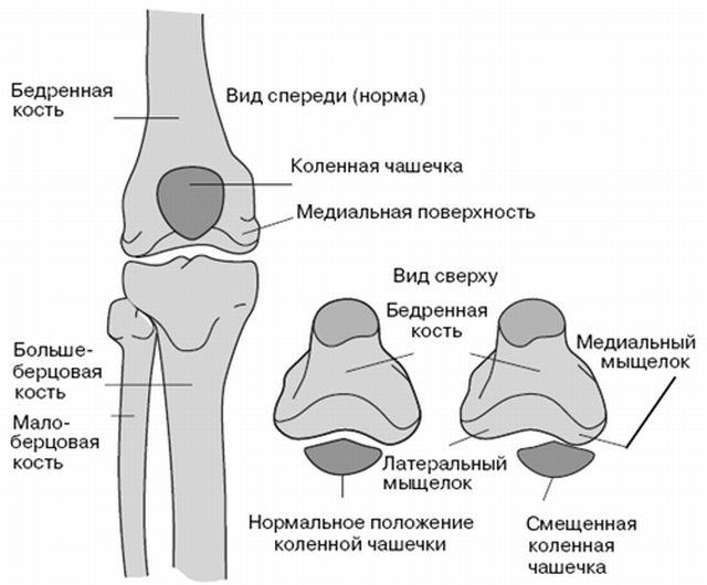 анатомия большеберцовой кости