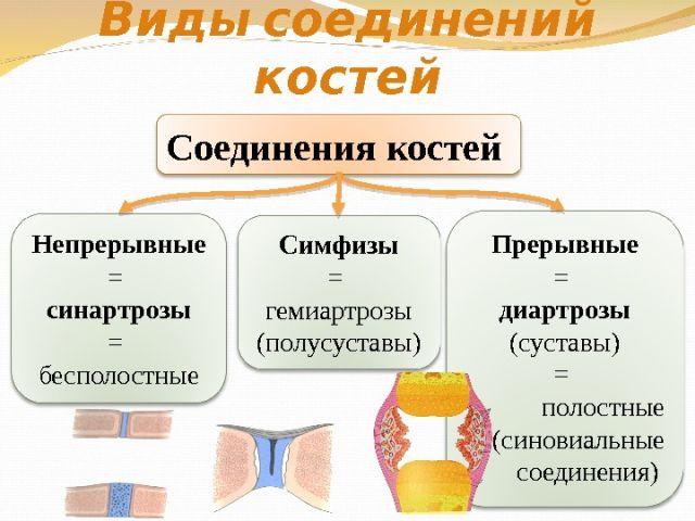 Виды сочленений костей