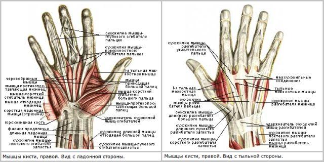 анатомия запястья