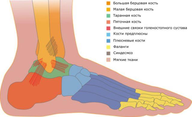 Анатомия голеностопа