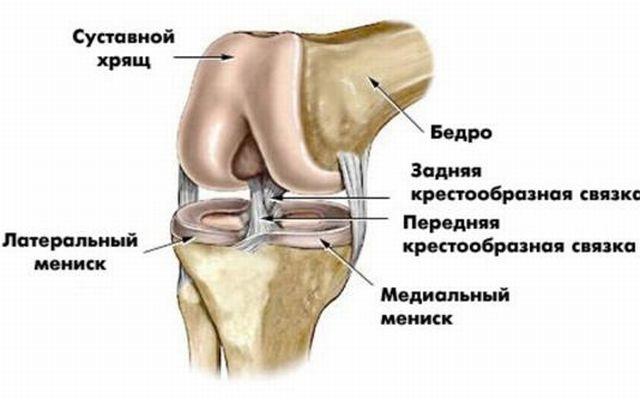 Анатомия колена