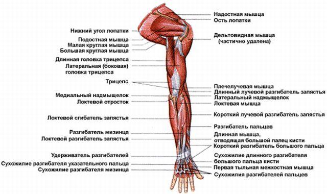 рука анатомия