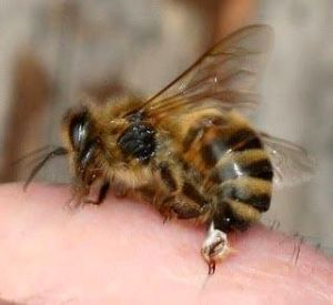 пчела на суставе