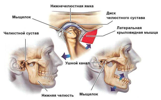 Анатомия челюстного сустава
