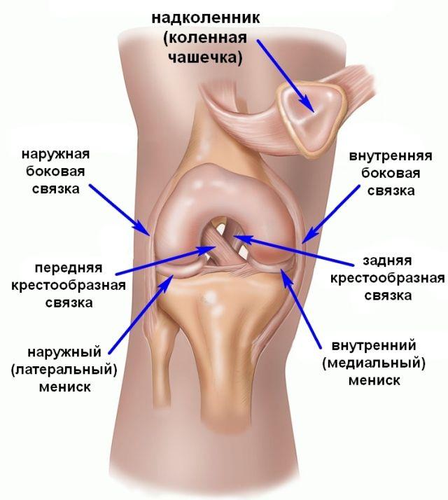 Расположение связок колена