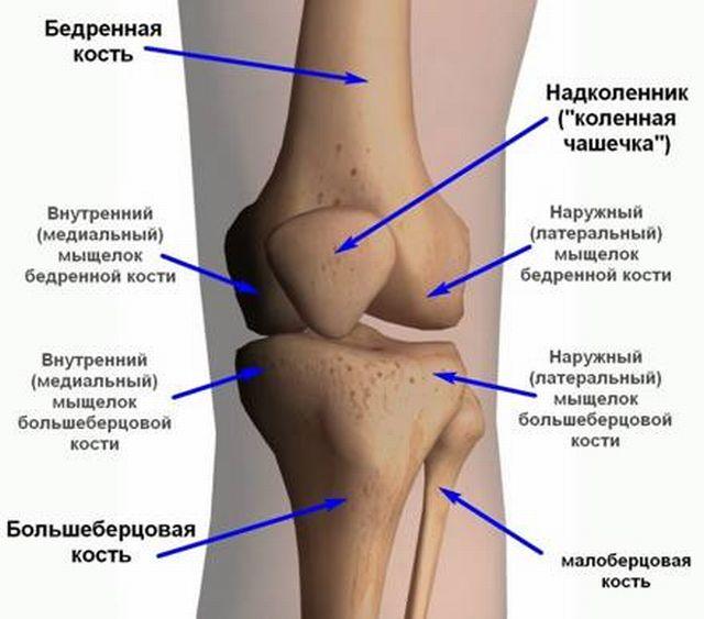Анатомия колена и надколенника