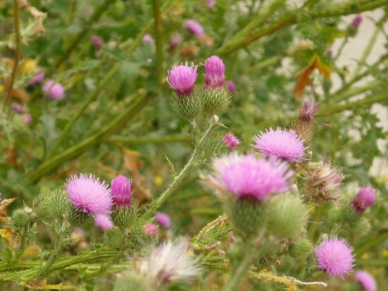 Расторопша: от чего помогает целительный сорняк